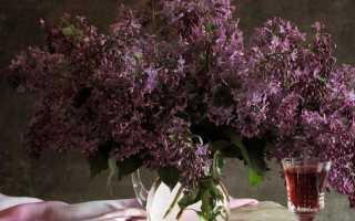 Настойка сирени — заготовка сырья, рецепты, свойства и противопоказания