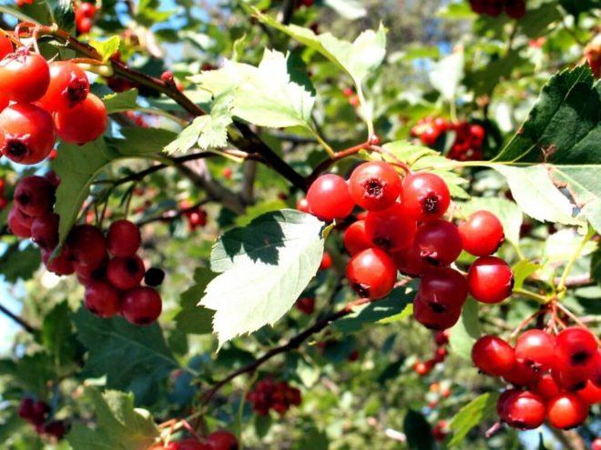 Яркие грозди калины