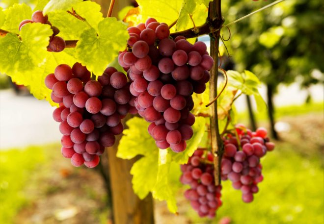 Спелые грозди винограда