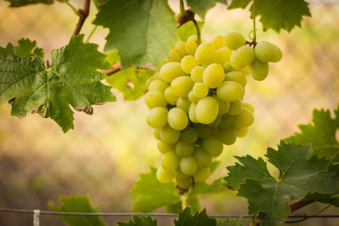 Спелые зеленые грозди винограда