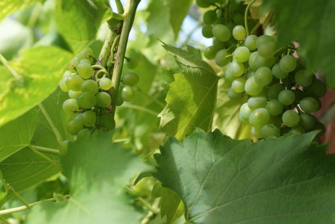 Ароматные грозди винограда