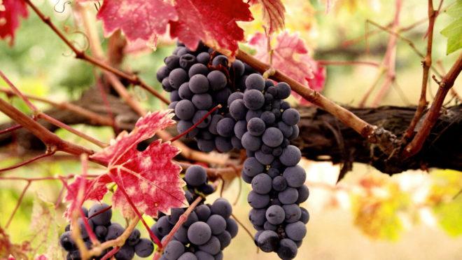 Грозди винограда поспели