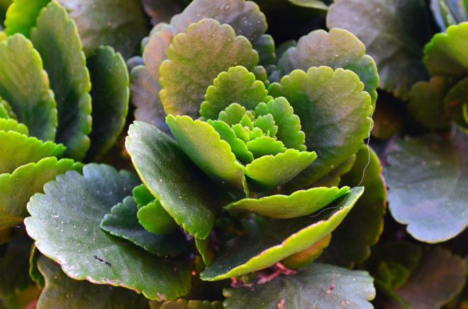 каланхоэ полезное растение