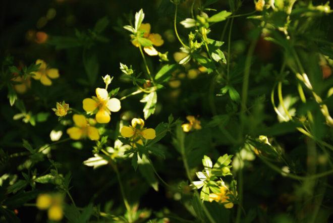 цветы калгана