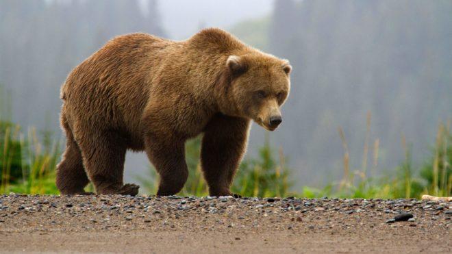 Рецепты приготовления настойки на медвежьей желчи